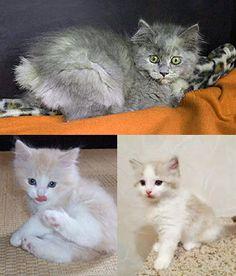 Cymric cat Kitten Exotic Shorthair, British Shorthair, All Cat Breeds, Cymric, American Curl, Kitten Names, Ragamuffin, Unique Cats, Manx