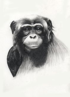 Chimpancé, dibujo, drawing