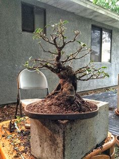 Bonsai will be the death of me  | Adam's Art and Bonsai Blog