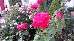Natürlich gegen Blattläuse: Hausmittel um die ungebetenen Gäste schnell und naturverträglich loszuwerden ->   1) 1 Teelöffel HAKA Neutralseife in einem Eimer (5-10 l) Wasser auflösen   2) In einen Spritzflasche füllen  3) Rosen großzügig abspritzen (3-5 Tage, 1x täglich)  Über blattlausfreie Rosen freuen :-)
