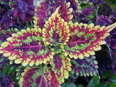 I LOVE THIS COLEUS PLANT!!!!!!!!!!!!