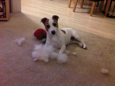 Jack Russel Terrier . .Destroying yet ANOTHER toy! .... My Jackapoo Dilly does this and still loves to play with the floppy thin toy.