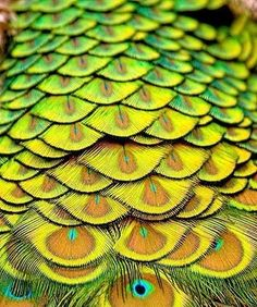 The peacock's tail symbolizes transmutation // peacock feathers close-up look like scales or eyes ; Patterns In Nature, Textures Patterns, Color Patterns, Nature Pattern, Peacock Art, Peacock Feathers, Yellow Feathers, Peacock Design, Art Textile