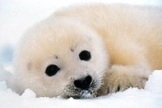 Awe baby seal:)   Cant believe anyone would hit this critter with a club! wtf