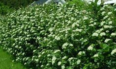 Hekk - Alt du trenger til hagen finner du hos oss - Hageland Aronia Melanocarpa, Planters, Herbs, Backyard, Garden, Inspiration, Juice, Pictures, Biblical Inspiration