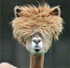 Des alpagas avec des coiffures folles