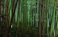 Bambu Mosso (P. Edulis)