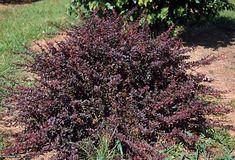 Japanese Barberry (Berberis thunbergii 'Royal Burgundy'). 3-6 ft. tolerates full shade. purple leaves.