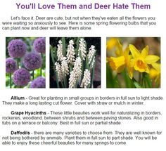 Deer love tulips but tend to leave these bulbs alone.