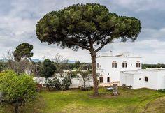 Puglia -  Pino domestico - Pinus pinea L. - Ostuni - Masseria Brancati - 4-4-2016 - Corrado Rodio. (10)