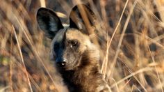 Wild dogs, once thought to be nearly extinct, are doing better than most experts expected. There have also been surprising discoveries about their behavior.