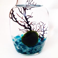 Beautiful Marimo moss ball terrarium. Marimo are AMAZING and have been found to live over 200 years old! northwestkombucha.com