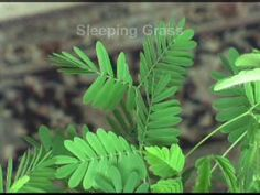 Mimosa Pudica - The Sensitive Plant - YouTube