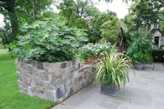 A giant growing nicotiana mutabilis in the far right corner. More container garden beauty! Chicago-figs.jpg