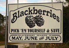 Pick your own blackberries in Cypress, TX