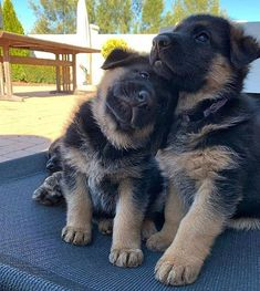 Tips You Should Know When Dealing With Dogs – Info About The Dog – Sandra Hartmann - Baby Animals Super Cute Puppies, Cute Baby Dogs, Cute Dogs And Puppies, Cute Baby Animals, Adorable Dogs, Animals Kissing, Dog Baby, Baby Cats, Cute German Shepherd Puppies