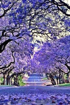 Jacarandas - Grafton - New South Wales, Australia.- Just love Jacarandas ~ Beautiful World, Beautiful Places, Colorful Trees, Purple Trees, Flowering Trees, Beautiful Landscapes, Beautiful Nature Wallpaper, Wonders Of The World, Mother Nature