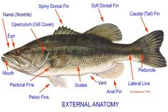 fish anatomy.  Grayson will LOVE THIS as a science topic