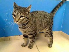 4 year old Tom needs out of NYCACC NOW!!! TO BE DESTROYED 6/6/13 Manhattan Center  My name is TOM. My Animal ID # is A0966258. I am a neutered male blk tabby amer sh mix. The shelter thinks I am about 4 YEARS old.  I came in the shelter as a STRAY on 05/23/2013 from NY 10014, owner surrender reason stated was OWNER SICK. I came in with Group/Litter #K13-138355.