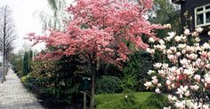 Bäume und große Sträucher sind auf Grund ihrer Größe und ihres Blütenreichtums im Frühjahr willkommene Blickfänge im Garten. Aber auch mit kleinwüchsigen Gehölzen können Sie mit  wenig Platz große Effekte erzielen.