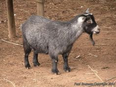 pygmy. Very small, barrel body. Grey to white. Prolific. Dairy, hobby, research.