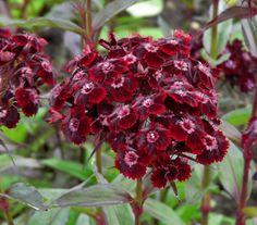 Dianthus barbatus nigrescens - Black Sweet William 'Sooty'. Image: Petr Dekanovsky