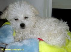 Bessy 3/2012a - Bichon Bolognese / Boloňský psík