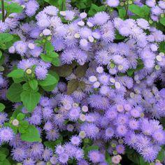 """Résultat de recherche d'images pour """"fleurs bleus violettes"""""""