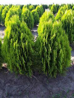 Tuia Aurea Nana 80-90 cm Buxus, Hibiscus, Web Design, Decor, Plant, Design Web, Decoration, Decorating, Website Designs
