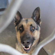 A4529076  My name is Buddy. I am a 3 yr old altered male black/brown German Shepherd. My owner left me here on December 29. Baldwin Park shelter Open for Adoptions 7 days a Week 4275 Elton Street, Baldwin Park, California 91706 Phone 626 430 2378