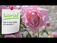 Cum se tund tufele de trandafiri? Ingrijire trandafiri - Ghid video Leroy Merlin Romania - YouTube Leroy Merlin, Tableware, Youtube, Roses, Agriculture, Plant, Tips, Garten, Dinnerware