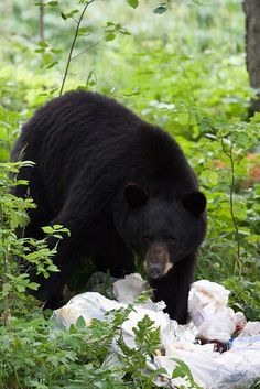 Our 12 yr. Old grandson Matt shot his first black bear. 9/27/2014.  He is totally hooked!!