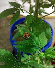 Cute ladybug chilling on a cannabis leaf.