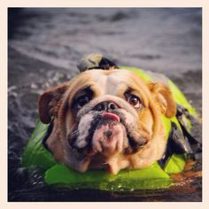#Bulldog swimming