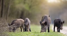 The Texas Agricultural Commissioner just approved a new feral hog poison that just might be the solution to the state's growing swine problem.