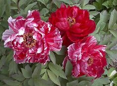 PlantFiles Pictures: Hybrid suffruticosa, Japanese Tree Peony 'Shima Nishiki' (Paeonia suffruticosa) by linjasar Japanese Tree, Tree Peony, Flower Names, Peonies Garden, All Plants, Large Flowers, Planting Flowers, Beautiful Flowers, Seeds