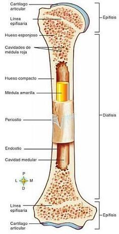 Análisis Integral del Movimiento Humano : Sistema Oseo Medicine Notes, Medicine Student, Veterinary Medicine, Anatomy And Physiology, Medical Students, Medical School, Body Anatomy, Human Anatomy, Med Student