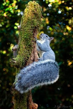 Look at My Beautiful Tail! western Gray Squirrel in my backyard. Mendocino County,Northern California