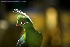 Green Knysa Loerie