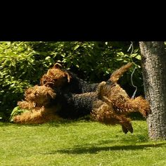 Watching Airedales play is one of the funnest thing you will ever do, flying Airedales never a dull moment