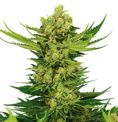 #Strain of the week! Get an euphoric high with Cheese (fem)