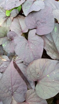 Ipomoea Batatas Ace of Spades 254 Ace Of Spades, Live Plants, Plant Leaves