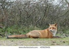 Image result for red fox walking towards you