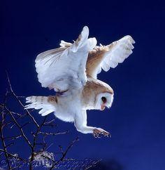 Barn Owl (Tyto alba) about to alight. Worldwide.