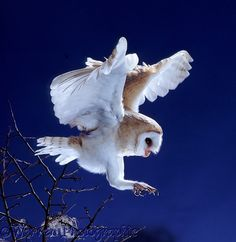 Barn Owl (Tyto alba) about to alight. Worldwide.