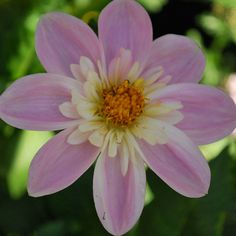 Dahlia 'Famoso' from the new annuals border Arne has designed at Cottesbrooke Hall in Northamptonshire.