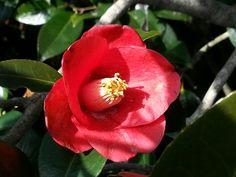 장사도 동백꽃2 Berry Plants, Japanese Flowers, Manga Drawing, Love Flowers, Flower Arrangements, Berries, Rose, Drawings, Floral