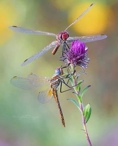 - Use in the description of your pictures for a chance to be featured. Dragonfly Photos, Dragonfly Art, Beautiful Bugs, Beautiful Butterflies, Bugs And Insects, Macro Photography, Dragonfly Photography, Beautiful Creatures, Pet Birds