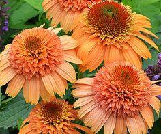 "Echinacea 'Supreme Cantaloupe'. 30"" tall. Blooms summer and fall."