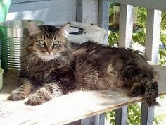 Cymric cats are decedents of the Manx cats of the Isle of Man, a small island in the Irish Sea midway between England, Scotland, Northern Ireland and Wales. All Types Of Cats, Cat Types, Cymric, Manx Cat, Irish Sea, Cats For Sale, Isle Of Man, Small Island, Maine Coon